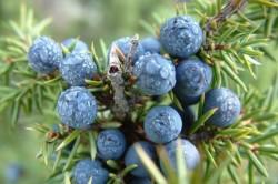 Польза плодов можжевельника при шизофрении